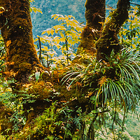 Bromiliades grow on the trunk of a tree in Nepal