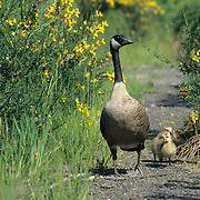 Canada Goose (Branta canadensis) adult and chicks on a forest path. Captive Animal