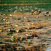 Water Lillies,Sri-Lanka.