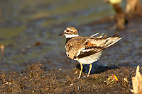 Killdeer (Charadrius vociferus), Arthur R Marshall National Wildlife Reserve - Loxahatchee, Florida, USA