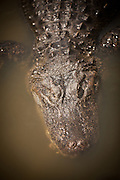 American alligator (Alligator mississipiensis) floats in a swamp in Myrtle Beach, SC.