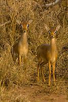Two dik diks, Serengeti National Park, Tanzania
