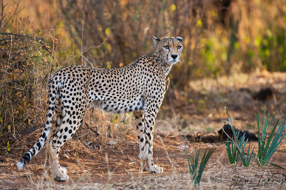 The cheetah ( Acinonyx jubatus ) is the fastest land animal reaching speeds between 112 and 120 km/h ( 70 -75 mph ) and has semi-retractable claws  ( known only in three other cat species ), Masai Mara, Kenya.....................................................................................................................