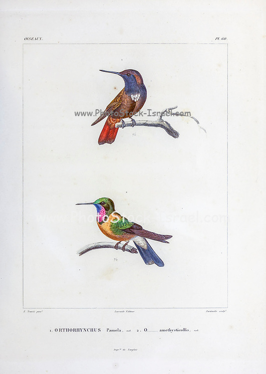 hand coloured sketch Top: black-hooded sunbeam (Aglaeactis pamela) [Here as Orthorhyncgus pamela]) Bottom: Longuemare's sunangel (Heliangelus clarisse [Here as Orthorhynchus amethysticollis]) From the book 'Voyage dans l'Amérique Méridionale' [Journey to South America: (Brazil, the eastern republic of Uruguay, the Argentine Republic, Patagonia, the republic of Chile, the republic of Bolivia, the republic of Peru), executed during the years 1826 - 1833] 4th volume Part 3 By: Orbigny, Alcide Dessalines d', d'Orbigny, 1802-1857; Montagne, Jean François Camille, 1784-1866; Martius, Karl Friedrich Philipp von, 1794-1868 Published Paris :Chez Pitois-Levrault et c.e ... ;1835-1847