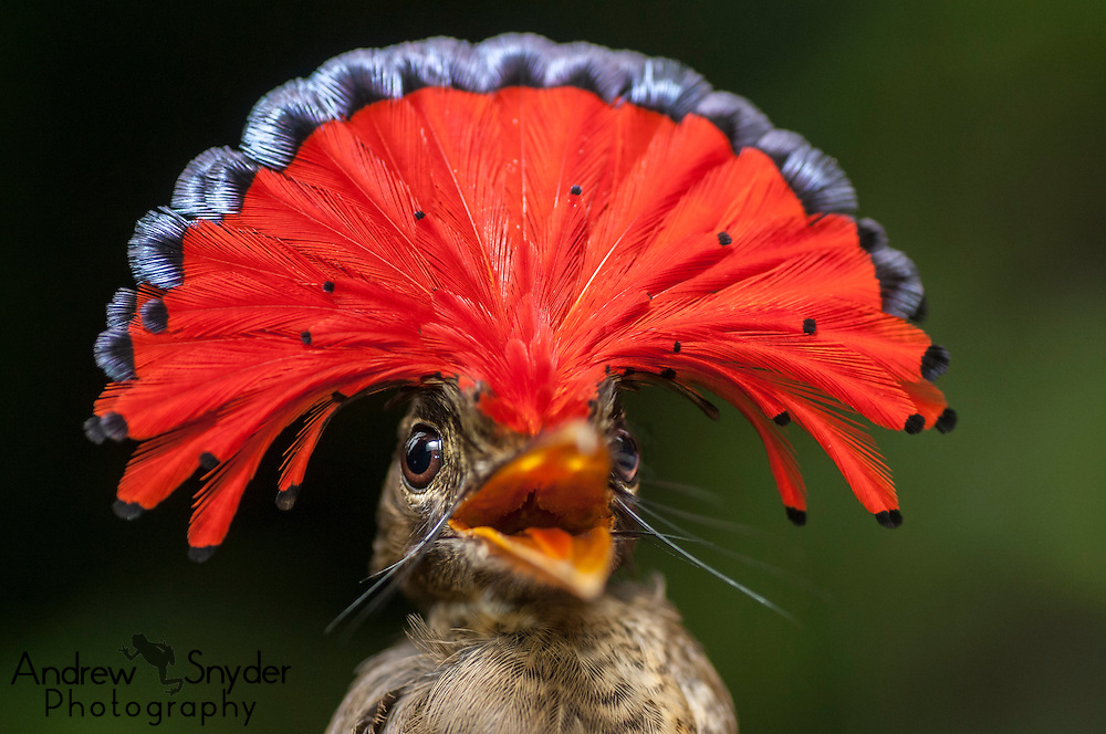 Male Amazonian Royal flycatcher (Onychorhynchus coronatus coronatus) displaying his head crest. Surama, Guyana.