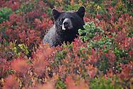 Black Bear cub (Ursus americanus) in a huckleberry patch in the autumn in Mount Rainier National Park, Washington, USA