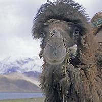 CHINA, XINJIANG. Bactrian Camel by Lake Karakul in Pamir Mountains.