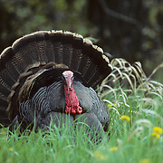 A male wild turkey with a fanned tail strutting for a female during the spring. Minnesota