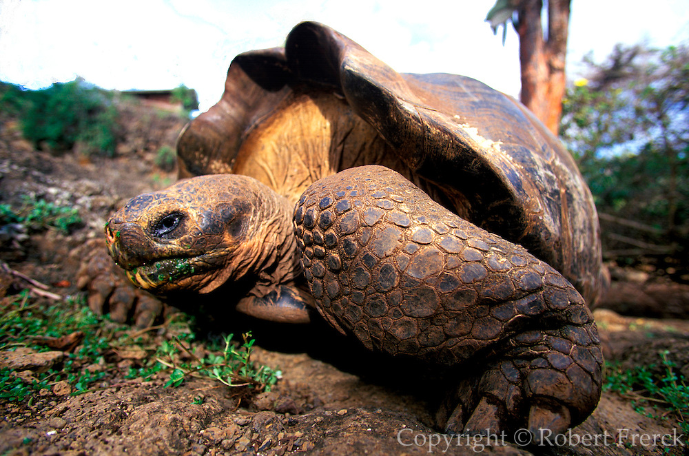ECUADOR, GALAPAGOS Darwin Research Station; giant tortoise