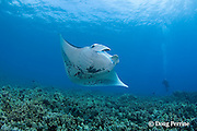 manta ray, Manta birostris, being cleaned by Hawaiian saddle wrasse, Thalassoma duperrey ( endemic ), at cleaning station on coral reef, Ukumehame, West Maui, Hawaii ( Central Pacific Ocean )
