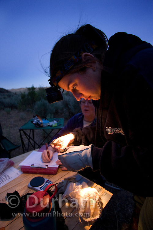 Bureau Of Land Mangement biologist Abbey Schuster measures the wing structure of a small bat while  Valerie Elliott records data. The bat was captured during a bat survey at The Nature Conservancy's Dutch Henry Falls preserve in Central Washington.