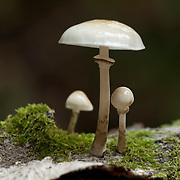 Porcelain Fungus on bark, France