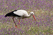 White Stork, Ciconia ciconia, Lesvos, Greece, walking in flowering meadow/field