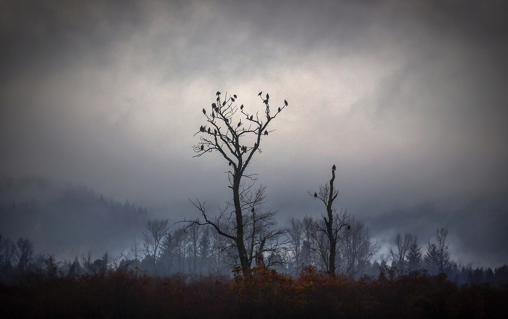 Eagles gather in a tree along the shores of the Fraser River near Harrison Mills, British Columbia. (2013)