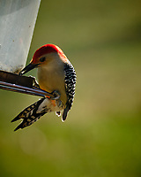 Red-bellied Woodpecker. Image taken with a Fuji X-H1 camera and 200 mm f/2 lens + 1.4x TC