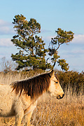 A stallion stands watch over a marsh in the Chincoteague National Wildlife Refuge in Virginia. About 300 wild — technically feral — Chincoteague ponies (Equus caballus), also known as Assateague horses, roam the island on the Atlantic coast. There is some dispute as to how the ponies ended up on the island. Some researchers believe the ponies are survivors of the wreck of a Spanish galleon, La Galga, which sank just off the coast in 1750; the U.S. Fish and Wildlife Service believes they are descendants of horses owned by early colonial settlers.