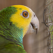 A yellow-shouldered amazon parrot, known locally as a lora, is kept as a pet by a family on Bonaire. This family has four loras in their cages, including two that were born in captivity. Twenty years ago, a survey was conducted on the island. 570 questionnaires were filled out and over 30% of respondents claimed to have loras at home with many having more than one lora. In total, they reported having 371 loras at home at the time. Captive conditions.