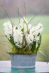 Hyacinthus orientalis 'White Pearl' in a zinc pot