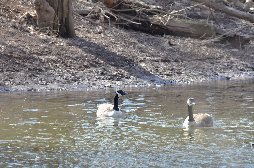 Two geese swimming on the Raritan River in Hillsborough, NJ