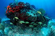 bluestripe grunts, Haemulon sciurus, sheltering under coral head on shallow reef, Biscayne National Park, Florida (Atlantic)