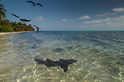 Nurse Shark (Ginglymostoma cirratum) & Magnificent Frigatebird (Fregata magnificens)<br /> Marine Megafauna Research. Large marine fish, sharks, rays & turtles.<br /> MAR Alliance<br /> Halfmoon Caye<br /> Lighthouse Reef Atoll<br /> Belize<br /> Central America