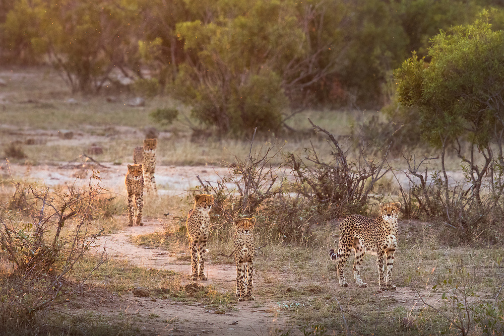 A family of five cheetah walk in the last rays of the setting sun.  Kruger National Park, South Africa