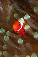 Spinecheek Anemonefish at home.Shot in West Papua Province, Indonesia
