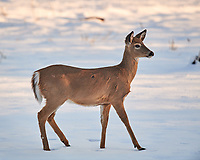 Deer on the Snow. Image taken with a Nikon D5 camera and 600 mm f/4 VRII lens.