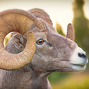Portrait of bighorn sheep, backlit at sunset.  Glacier National Park, northwest Montana. Image published in Feb. 2016 issue of Wild Planet magazine in Photo of the Month gallery.