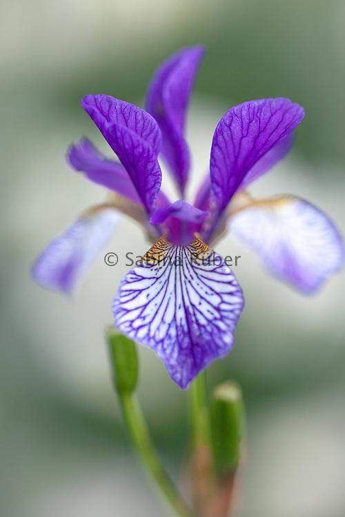 Iris sibirica 'Shrawley'
