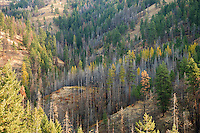 a partially burned forest with bare trees standing among live trees including Tamarack turning autumn yellow in the Umatilla National Forest, Blue Mountains, WA, USA