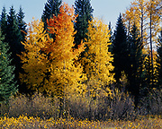 Autumn colors of quaking aspens and willows near Pacific Creek, Grand Teton National Park, Wyoming.
