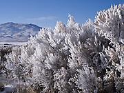 Hoarfrost and rime covering sagebrush, Pahsimeroi Valley, Idaho.
