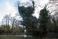 Denham, UK. 4 February, 2020. An area cleared for works for the HS2 high-speed rail link leading down to a 11.6 metre-wide ancient alder tree and the river Colne. Planned works in the immediate area are believed to include the felling of 200 trees and the construction of a roadway, Bailey bridge, compounds, fencing and a parking area. The other side of the river bank lies within a wetland nature reserve adjacent to a Site of Metropolitan Importance for Nature Conservation (SMI).