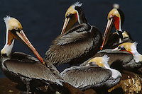 A group of brown pelicans (Pelecanus Occidentalis) in breeding plumage.
