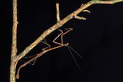 Twig-mimic Mantid (Angela sp)<br /> Yasuni National Park, Amazon Rainforest<br /> ECUADOR. South America