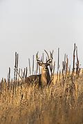 Whitetail buck in autumn habitat
