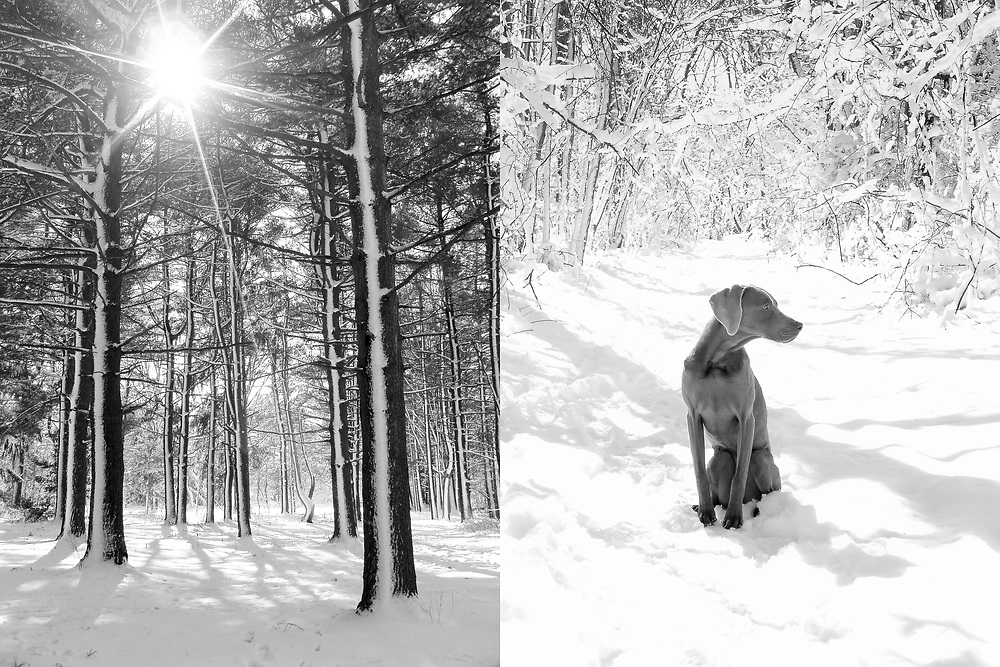 Diptych of Sugar, snow, trees and sunshine in the arboretum
