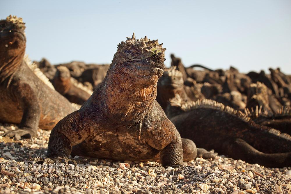 Marine Igaunas (Amblyrhynchus cristatus) on the beach of Fernandina Island, Galapagos Archipelago - Ecuador.