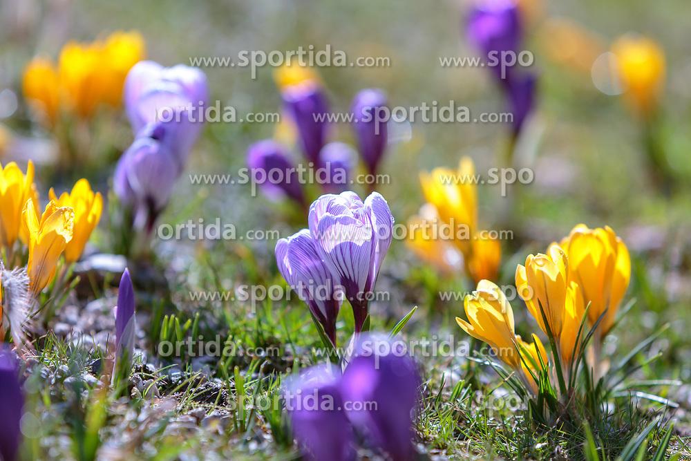 THEMENBILD - lila und gelbe Krokusse (Iridaceae) blühen auf einer Wiese, aufgenommen am 13. März 2018, Piesendorf, Österreich // purple and yellow crocuses bloom in a meadow on 2018/03/13, Piesendorf, Austria. EXPA Pictures © 2018, PhotoCredit: EXPA/ Stefanie Oberhauser