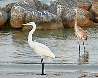 Great Egret (Ardea alba) and Great Blue Heron (Ardea herodias). Fort De Soto Park. Pinellas County, Florida.  Image taken with a Nikon D3x camera and 70-300 mm VR lens.
