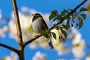 A dark-eyed junco (Junco hyemalis), Oregon race, singles from its perch on a cherry tree with spring blossoms in Snohomish County, Washington.
