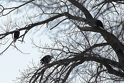 11 February 2017:   Bald Eagles (Haliaeetus leucocephalus) sit in oak trees along the bank of the Illinois River at Starved Rock State Park in Illinois