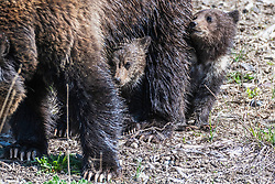 Grizzly cubs making good use of their mobile furry security blanket.