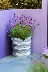 Lavendula stoechas - French lavender - in a wiggly silver container. Reflections Garden.
