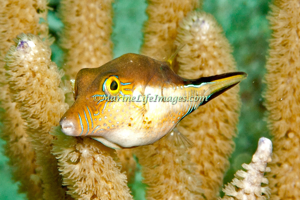 Sharpnose Puffer swim about reefs and seagrass beds in Tropical West Atlantic; picture taken Little Cayman.