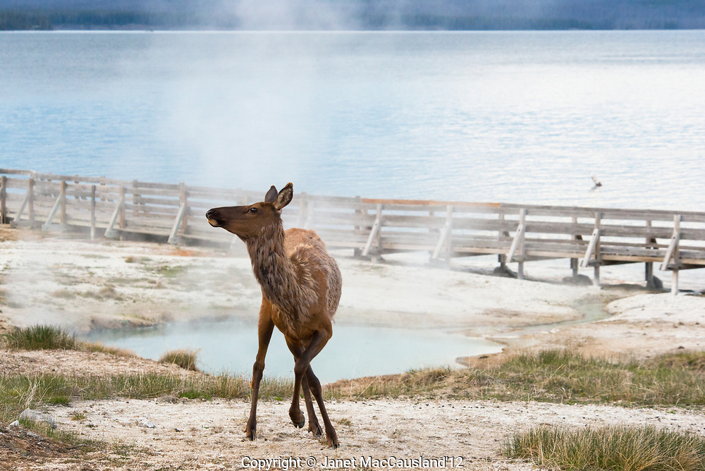 A first year male Elk (Cervus canadensis) is unsure of humans in Yellowstone in his first adult springtime. He is skittish and jerky while the adults pay little attention to us.