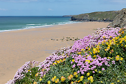"""© Licensed to London News Pictures. 11/05/2020. Newquay, UK. Kidney Vetch and Sea Thrift flowers are seen atop the cliff at Watergate Bay beach on the North coast of Cornwall, the day after British Prime Minister Boris Johnson announced a 'road map' to lift lockdown restrictions due to Covid-19, (Coronavirus). A rise in """"staycations"""" - the concept of holidaying in your home country rather than travelling abroad - is expected, with many visitors planning to visit Cornwall. However, an ongoing campaign titled """"#ComeBackLater"""" is trying to persuade tourists not to visit the county until it is safe to do so. Photo credit : Tom Nicholson/LNP"""