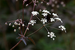 Anthriscus sylvestris 'Ravenswing'. Purple Cow parsley, Queen Anne's lace