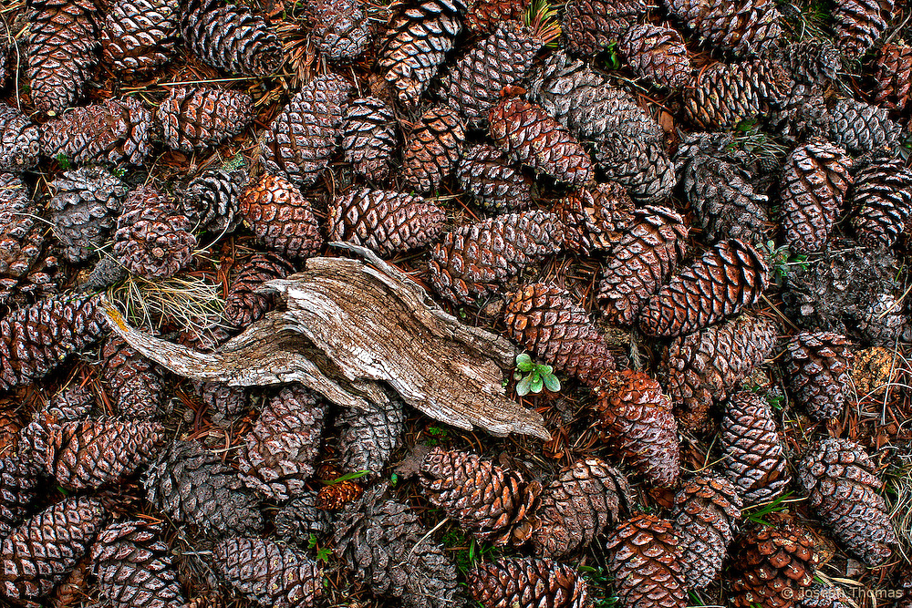 A piece of decaying wood from an ancient bristlecone pine that first germinated perhaps thousands of years ago is surrounded by russet-colored pinecones that carry the seeds of future generations.